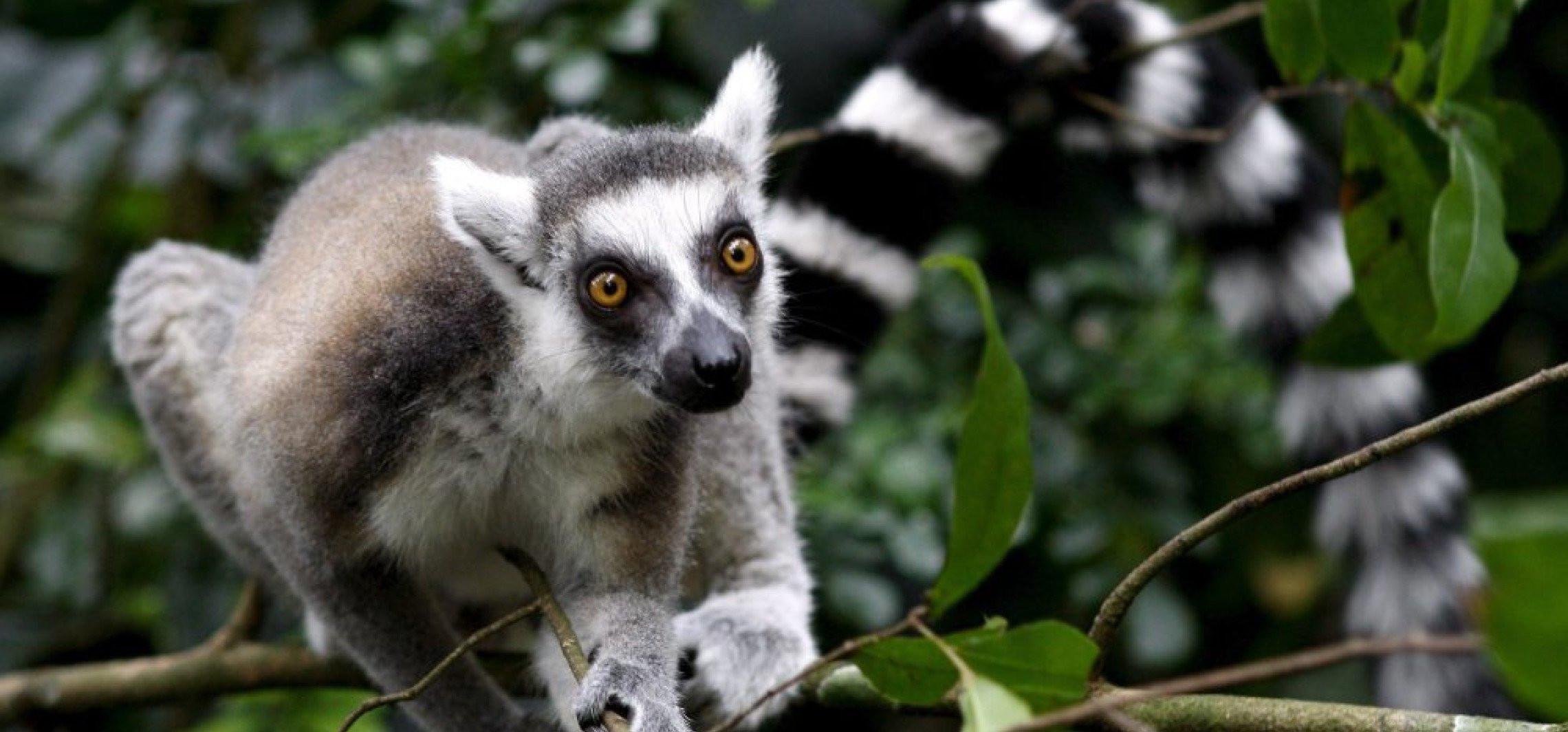 Trwała miłość lemurów niejedno ma imię
