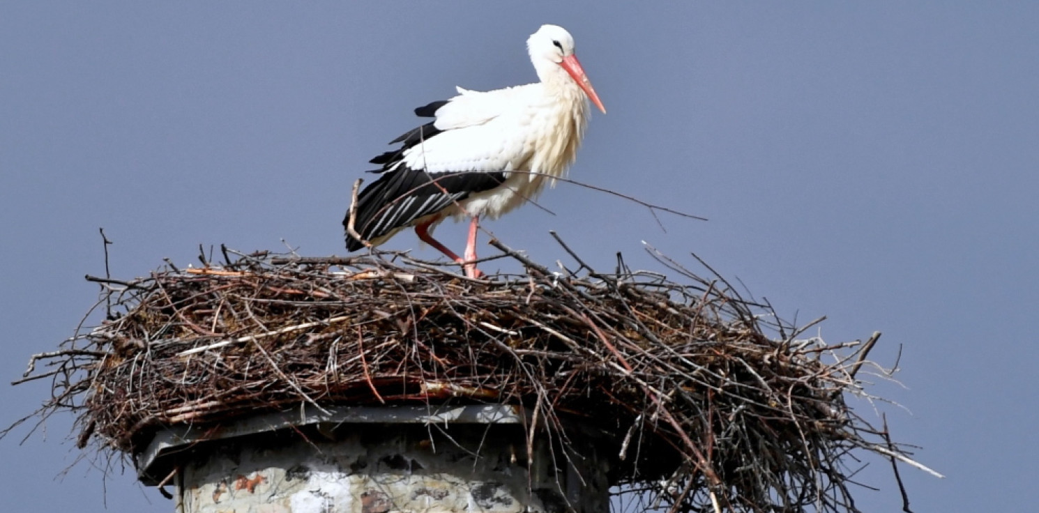 Rozmaitości - Ornitolodzy: wyrzucanie jajek z gniazda przez bociany jest naturalne