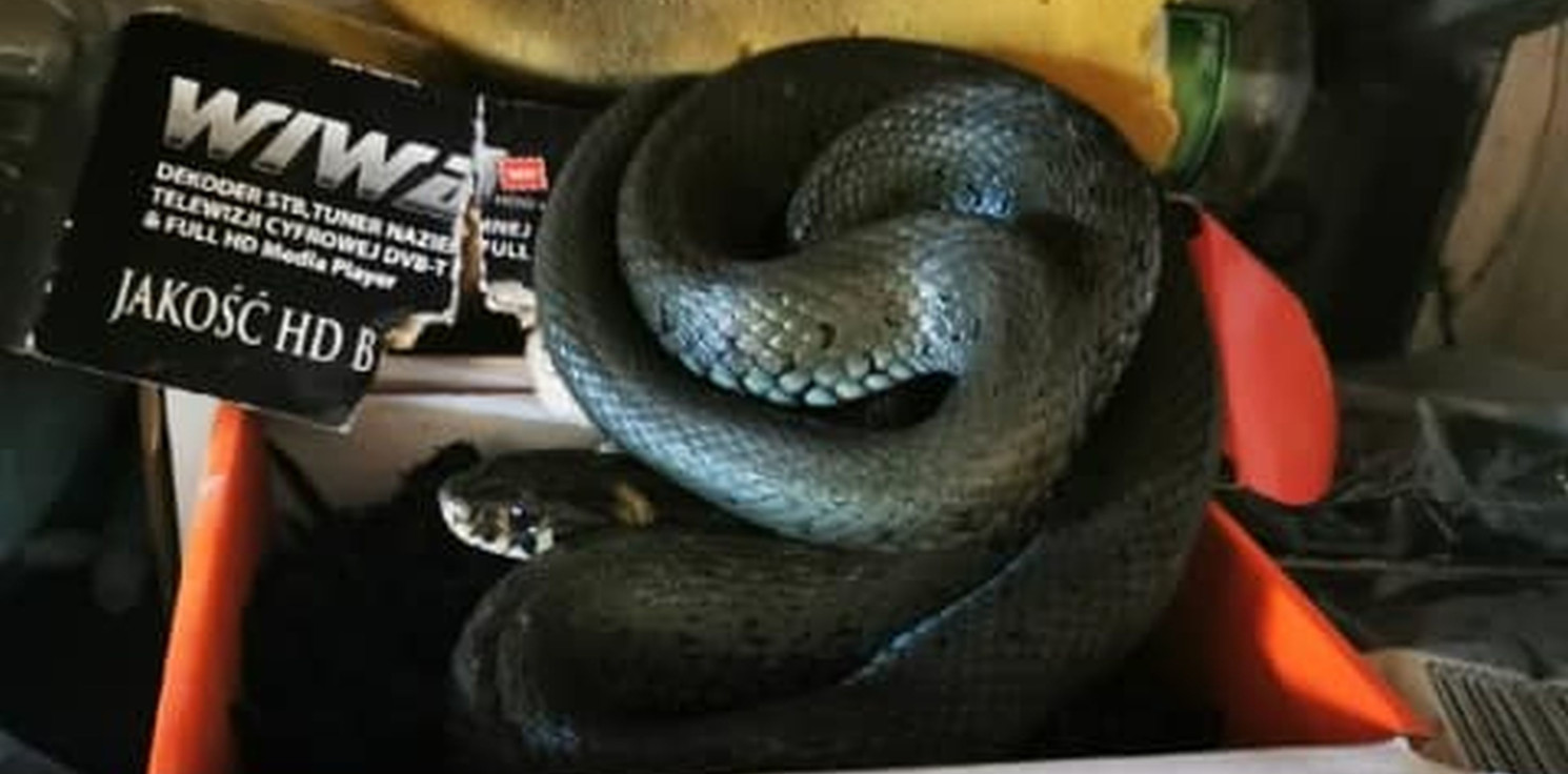 Inowrocław - Znalazł w swoim garażu... węża