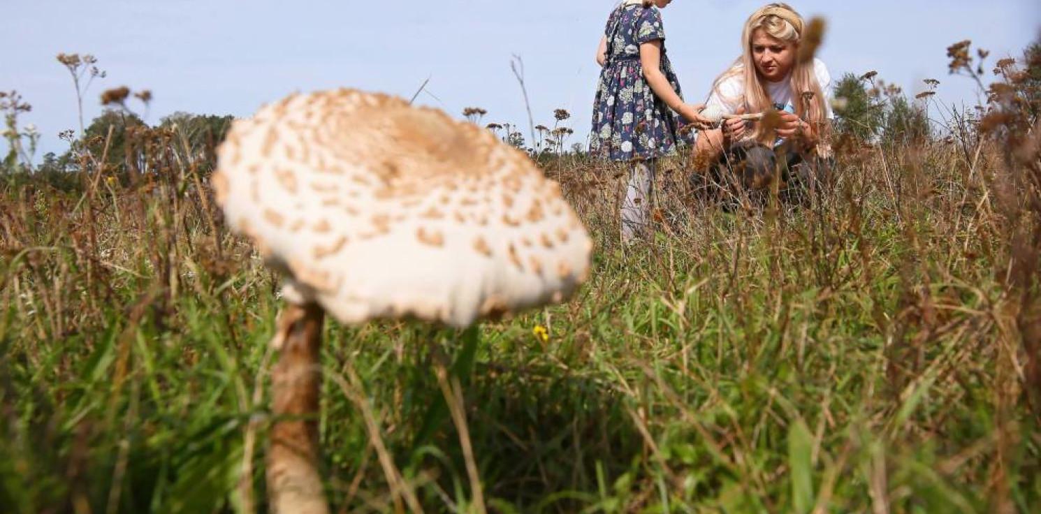 Rozmaitości - Zbiory grzybów w polskich lasach szacuje się średnio na ok. 100 tys. ton rocznie