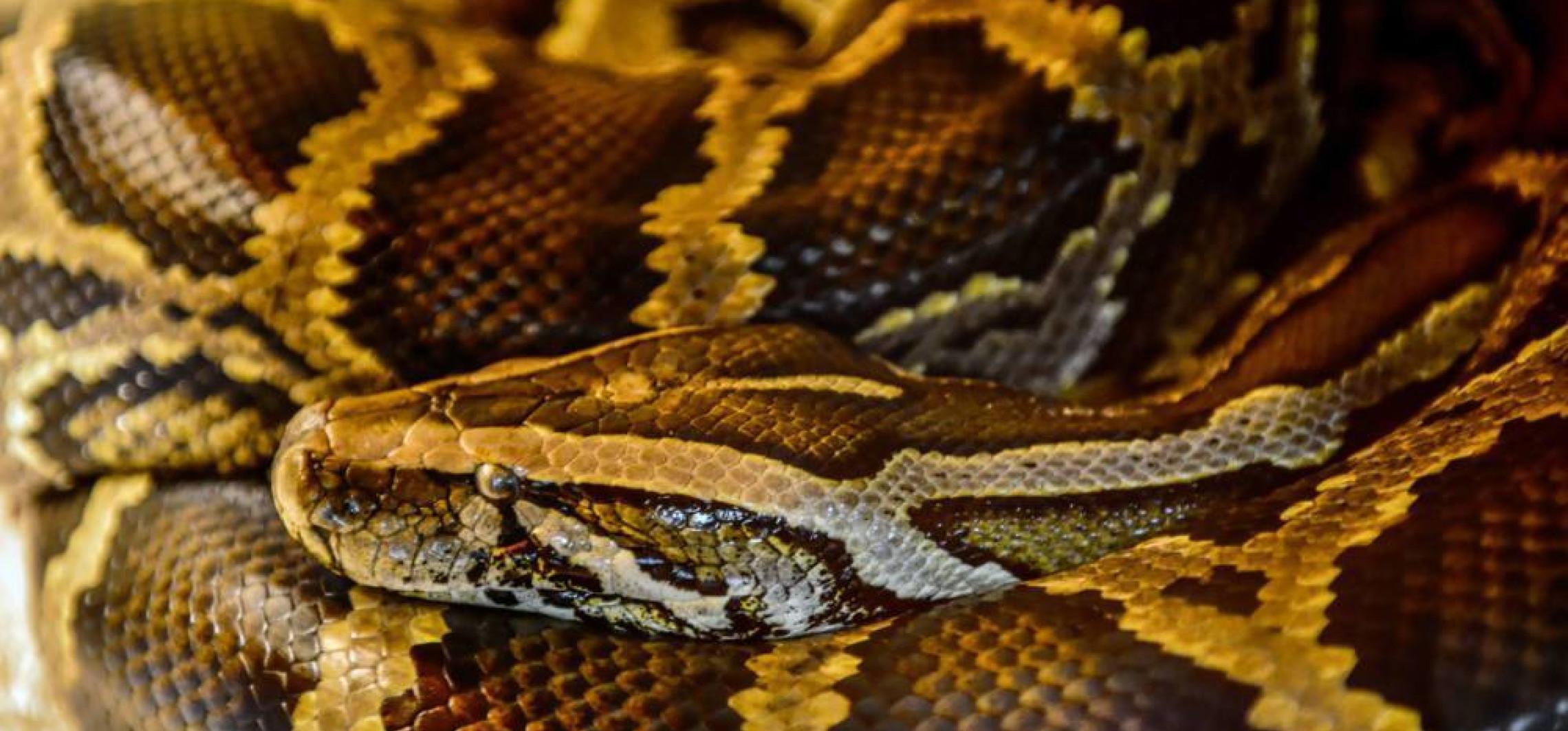Węże pochodzą od niedobitków z zagłady dinozaurów