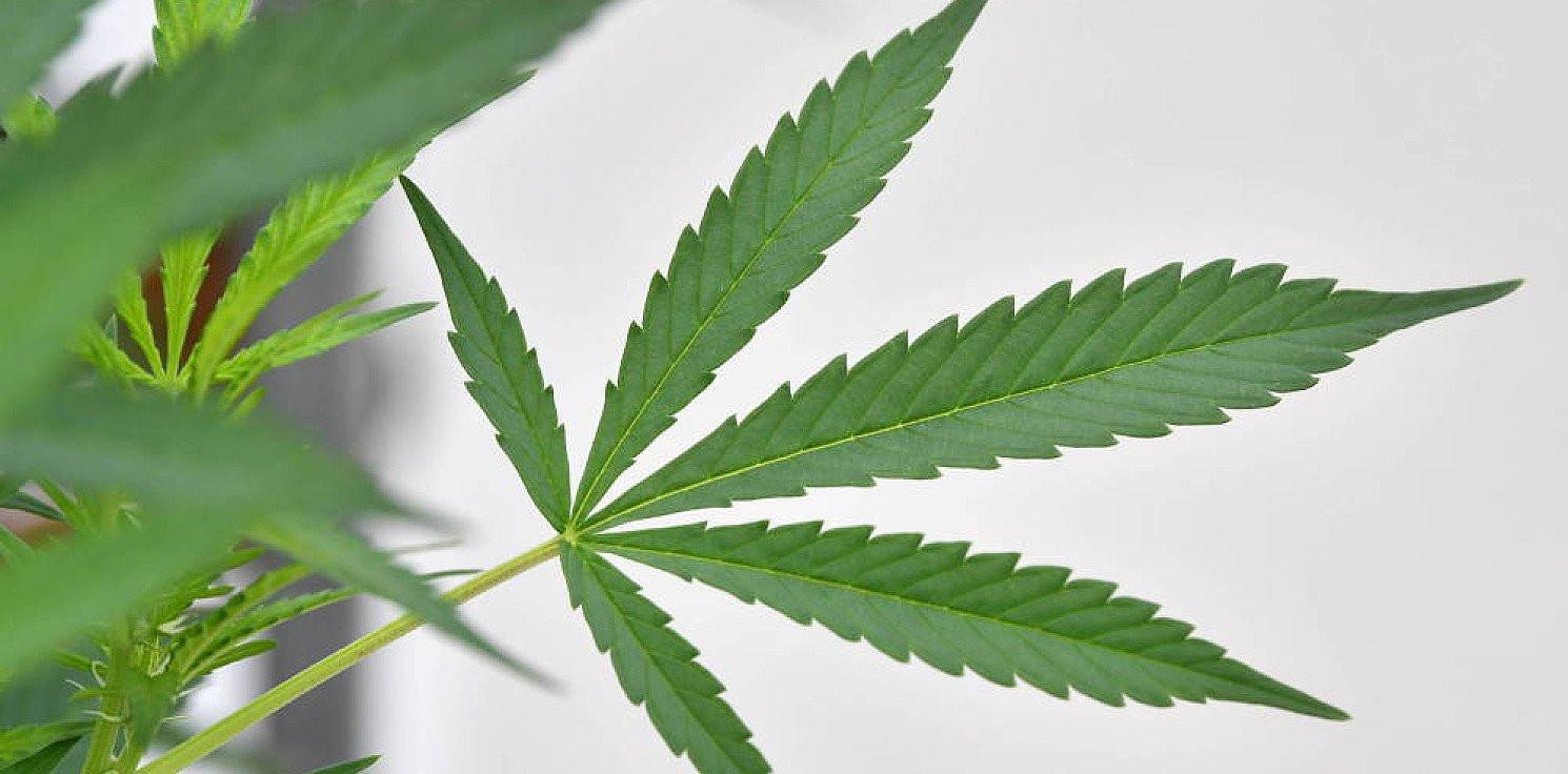 Kraj - Parlamentarny Zespół ds. Legalizacji Marihuany w listopadzie zajmie się projektem dot. depenalizacji