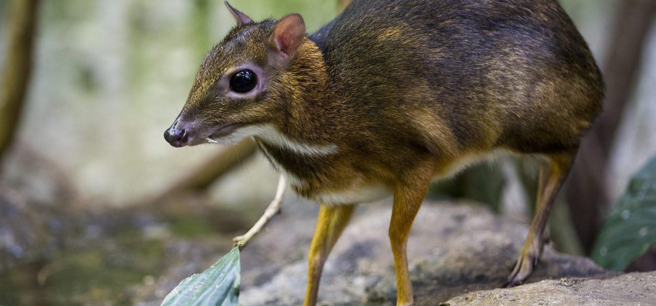 We wrocławskim zoo urodził się myszojeleń